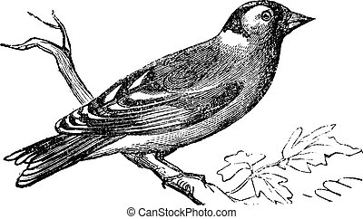 Finch vintage engraving - Finch or Fringilla sp, vintage...