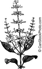 Sweet Basil vintage engraving - Sweet Basil or Ocimum...