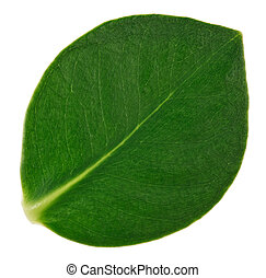 Green clusia leaf macro view, isolated on white