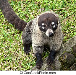 Wild White-Nosed Coati, Arenal Volcano National Park, Costa...