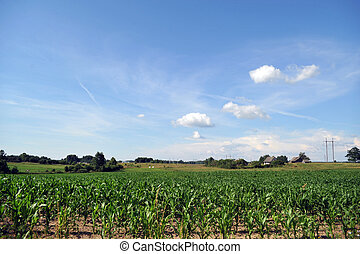 field corn plants - Large field of young corn plants with...