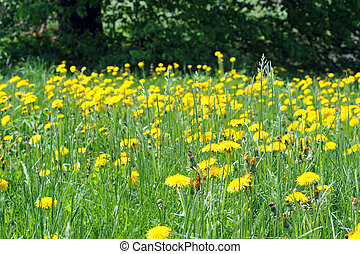 Dandelions blooming in spring farm field