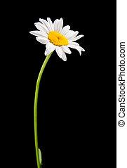 ox-eye daisy - white camomile isolated on black