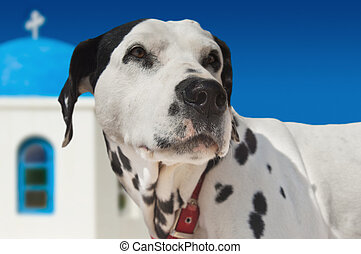 Dog on Santorini island - Spotty white dog on the island of...
