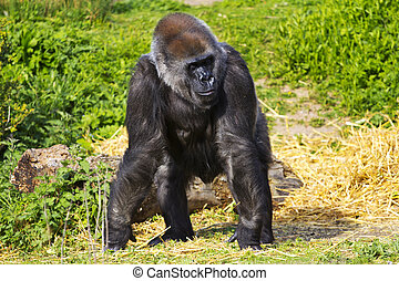 A female western lowland gorilla standing facing forward and...