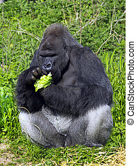 A western lowland silver back male gorilla eating vegatables...