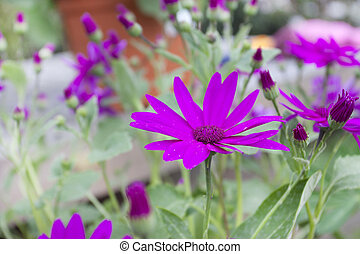 Spring flowering Senetti flowers