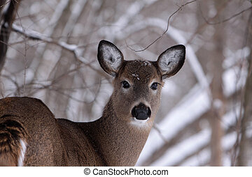 White tail deer in wintertime