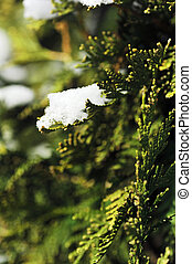 snow on evergreen bush