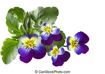 Pansy - Closeup of fresh pansy flowers isolated on white