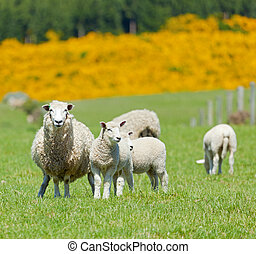 Sheep Grazing - Image of sheep grazing in the fields of New...