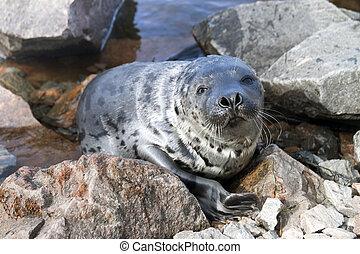 Seal Pagophilus groenlandicus - Belek baby harp seal...