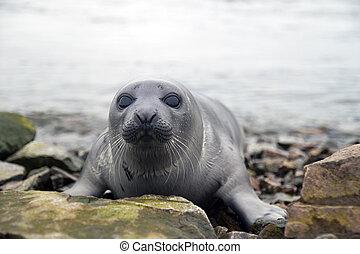 Harp seal - Belek baby harp seal Pagophilus groenlandicus in...