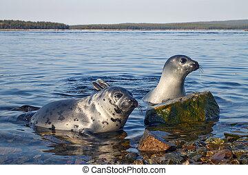 Seals - Belek baby harp seal Pagophilus groenlandicus in the...