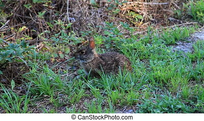 Bunny Eating Two  - Bunny Eating Grass