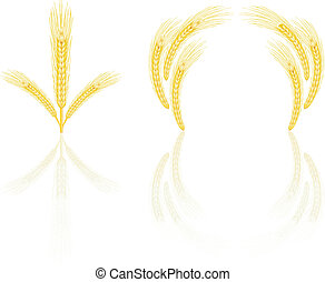 Yellow wheat - Isolated golden wheat ear after the harvest...