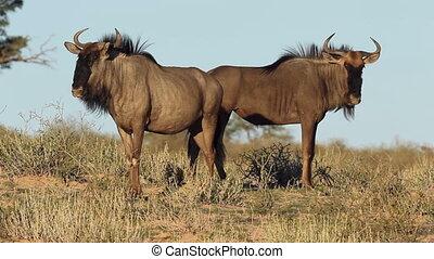 Blue wildebeest Connochaetes taurinus, Kalahari desert,...