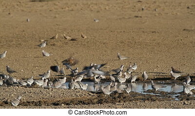 Cape turtle doves Streptopelia capicola at the waterhole,...
