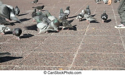 Pigeons in a city park - Feeding pigeons in a city park with...