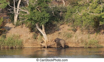 African elephant in river - Large African bull elephant...