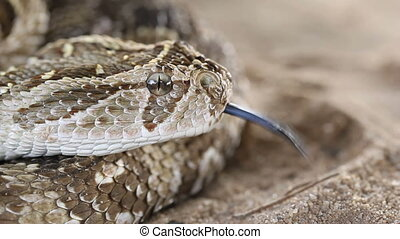 Defensive puff adder - Puff adder Bitis arietans in...