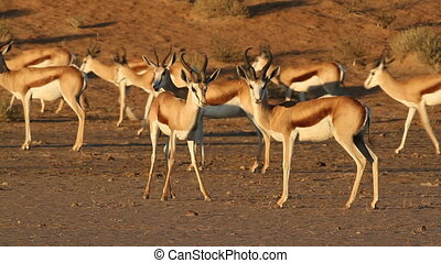 Springbok antelopes - Herd of springbok antelopes Antidorcas...