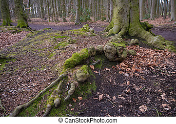 tree roots - large overground roots of a beech tree