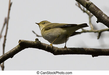 Willow Warbler perched on branch