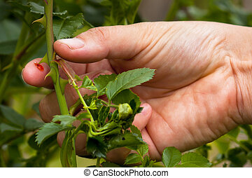 Finger pricked by rose thorn