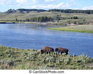 Bisons on the lakeside - American buffalos on the lake shore...