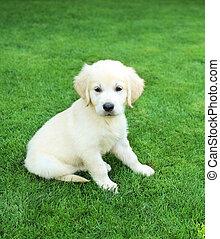 Golden retiever labrador puppy outdoors - Golden retiever...
