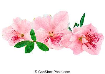 Azalea - Macro of bright pink azalea blooms isolated on a...