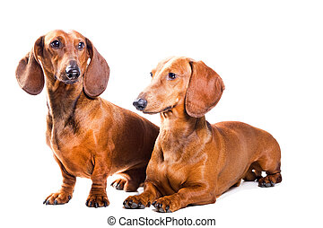 Two Dachshund Dogs isolated over white background