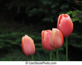 Pink Tulips int he Breeze - sd - Four beautiful pastel pink...