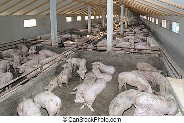 Pig farm - Small Pig Farm for breeding hogs