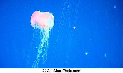Jellyfish in blue water
