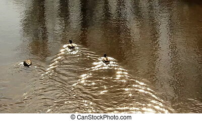 Ducks - ducks and water with sunlight reflections