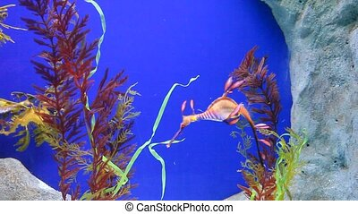 Leafy and weedy seadragons  - Seadragons in aquarium