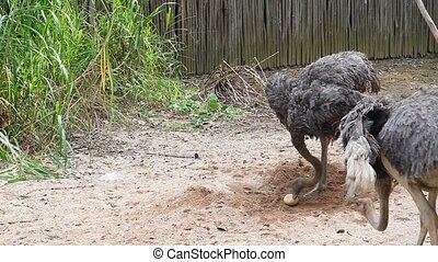 Ostrich protecting their egg  - two ostrich and an egg