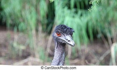 Closeup of an Emu Ostrich family