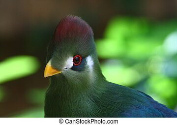 red crested turaco; Tauraco Erythrolophus from Africa