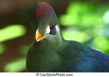 red crested turaco - red crested turaco; Tauraco...