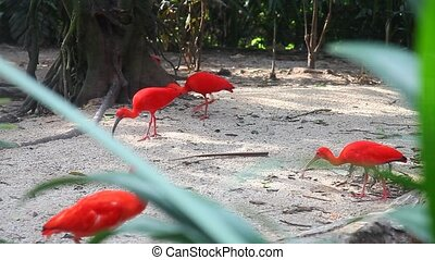 Scarlet ibis fighting for food