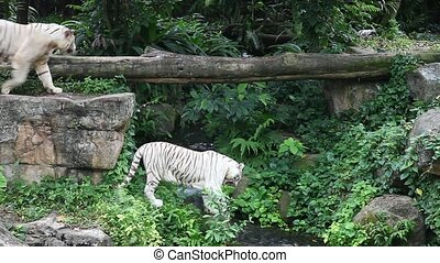 White tigers walking around - white tigers in Singapore zoo