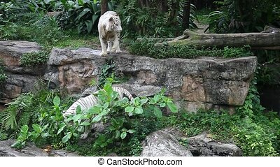 White tigers walking around in singapore zoo