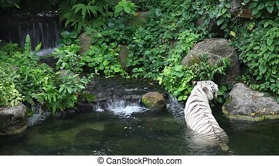 White tiger and waterfall - White tiger bathing in singapore...