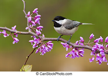 Black-capped Chickadee on Redbud - Black-capped Chickadee...