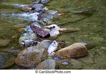Salmon dead in river after spawning