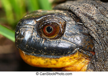 Blandings Turtle (Emydoidea blandingii) - Closeup of a...