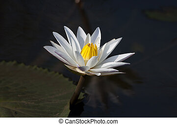 Whie Lily - A white water lily in full bloom at a local pond